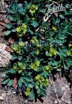 SIBBALDIA procumbens   Portion(en)