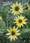 SILPHIUM mohrii   Portion(s)