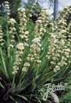 SISYRINCHIUM striatum   Portion(s)