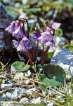 SOLDANELLA alpina   Portion(en)