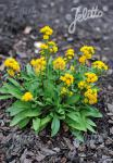 SOLIDAGO cutleri   Portion(en)