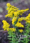 SOLIDAGO canadensis  'Little Miss Sunshine' Portion(s)