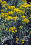 SOLIDAGO rigida   Portion(en)