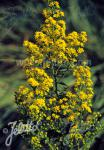 SOLIDAGO roanensis   Portion(s)