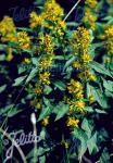 SOLIDAGO virgaurea   Portion(en)