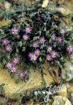 SPERGULARIA rubra   Portion(s)