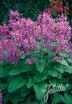 STACHYS macrantha   Portion(en)