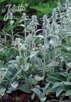 STACHYS byzantina   Portion(s)