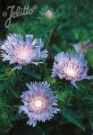 STOKESIA laevis   Portion(en)