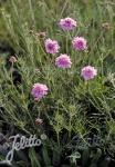 SCABIOSA canescens   Portion(s)