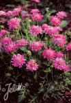 SCABIOSA columbaria f. nana  'Pincushion Pink' Portion(en)