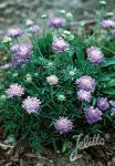 SCABIOSA columbaria f. nana   Portion(en)