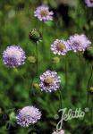 SCABIOSA columbaria   Portion(en)