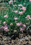 SCABIOSA graminifolia   Portion(s)