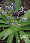 SCILLA hyacinthoides   Portion(s)