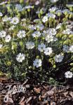 SILENE uniflora  'Weißkehlchen'