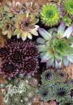 SEMPERVIVUM hybridum  winter hardy varieties Seeds