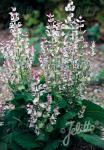 SALVIA sclarea   Portion(en)