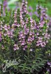 SATUREJA montana ssp. illyrica   Portion(s)