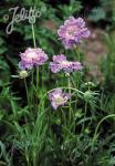 SCABIOSA caucasica  'Perfecta' Portion(en)