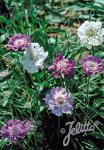 SCABIOSA caucasica  'Isaac House Hybr.' Portion(s)