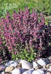 TEUCRIUM chamaedrys  wild form Portion(s)