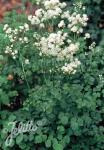 THALICTRUM aquilegiifolium  'Album' Portion(s)