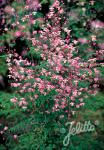 THALICTRUM delavayi   Portion(s)