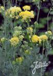 THALICTRUM flavum ssp. glaucum   Portion(s)