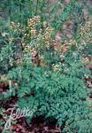 THALICTRUM minus  'Adiantifolium' Portion(s)