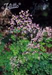 THALICTRUM rochebrunianum var. grandisepalum
