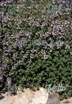 THYMUS vulgaris  'Standard Winter' Portion(en)