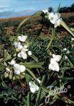 TRADESCANTIA x andersoniana  'Blanca'