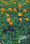 TROLLIUS asiaticus   Portion(en)