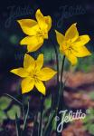 TULIPA sylvestris   Portion(en)