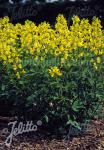 THERMOPSIS chinensis   Korn