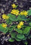 TRICYRTIS latifolia   Seeds