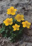 TROLLIUS pumilus   Seeds