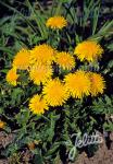 TARAXACUM officinale   Portion(en)