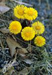 TUSSILAGO farfara   Portion(s)