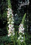 VERBASCUM chaixii   Portion(s)
