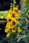 VERBASCUM densiflorum   Portion(en)