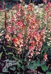 VERBASCUM hybridum  'Southern Charm'
