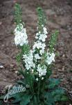 VERBASCUM phoeniceum  'Flush of White' Portion(en)