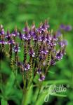 VERBENA hastata  'Blue Spires' Portion(en)