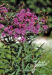 VERNONIA crinita   Portion(en)