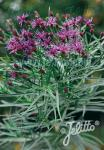 VERNONIA lettermannii   Portion(s)
