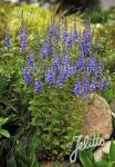 VERONICA teucrium  'Royal Blue'