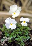 VIOLA cornuta  'White Perfection' Portion(en)