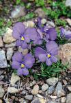 VIOLA calcarata   Portion(en)